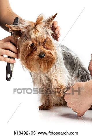 Stock Photo Of Grooming Yorkshire Terrier With A Comb On White