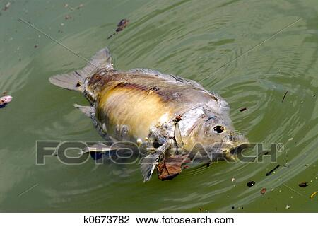 Carp Died On The Surface Of Water Due To Pollution