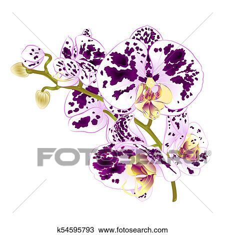 Fiori Bianchi E Viola.Ramo Orchidee Maculato Viola E Fiori Bianchi Phalaenopsis