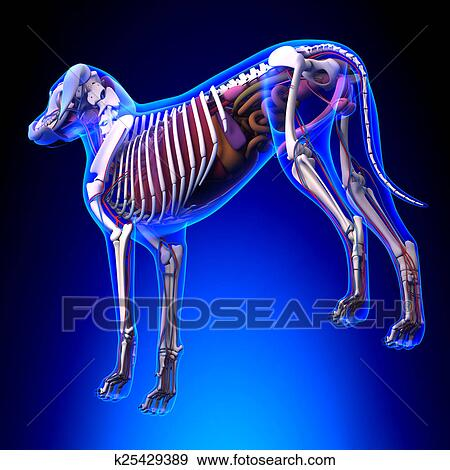 Stock Illustration Of Dog Internal Organs Anatomy Anatomy Of A