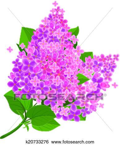 Clipart lilas fleur isol k20733276 recherchez des - Dessin de lilas ...