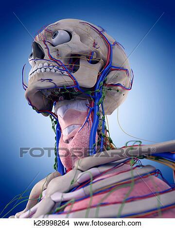 Anatomie Gorge dessins - les, gorge, anatomie k29998264 - recherche de clip arts, d