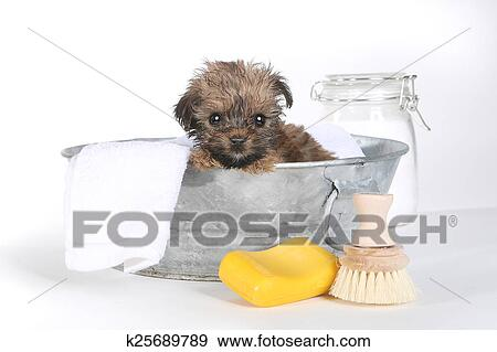 Teacup Yorkshire Terriers On White