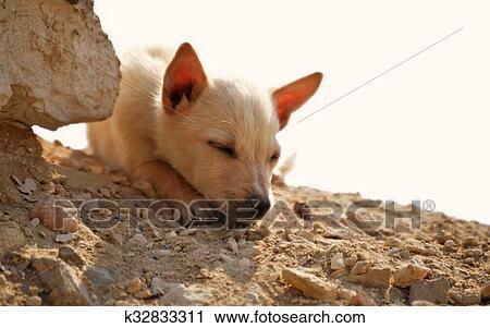 Volpe fennec uno deserto cane archivio immagini k32833311