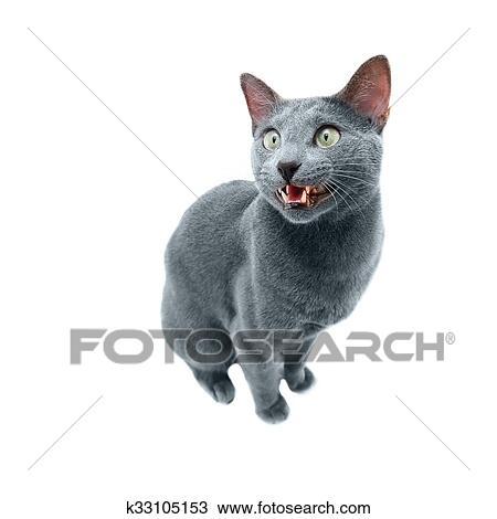 Russian Blue Cat Stock Image K33105153 Fotosearch