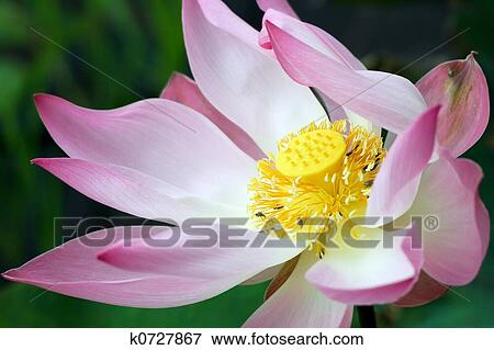 Picture of lotus flower closeup k0727867 search stock photography close up of a wild lotus flower in a swampland con dao island aka poulo condore vietnam mightylinksfo