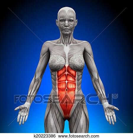 Stock Illustration Of Abs Female Anatomy Muscles K20223386