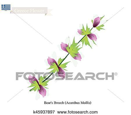 Bears Breech Flowers National Flower Of Greece Clip Art