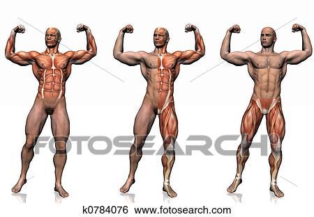 Colección de ilustraciones - anatomía, de, el, man. k0784076 ...