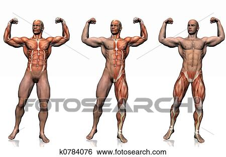 Stock Illustration Of Anatomy Of The Man K0784076 Search Clip Art