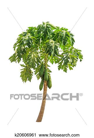 Papaya Tree Carica Also Known As Papayas Papaw Pawpaw Tropical In The Northeast Of Thailand Isolated On White Background
