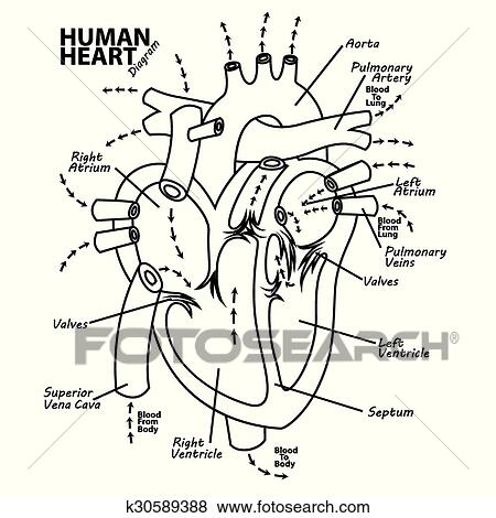 Clip Art Of Human Heart Diagram Anatomy Tattoo K30589388 Search