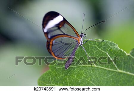 Stock Photography Of The Glasswinged Butterfly K20743591 Search