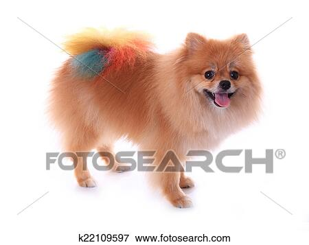 Picture Of Brown Pomeranian Dog Grooming Colorful Tail Isolated