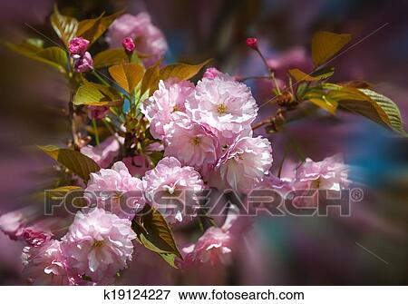 Sakura Blossomed Japanese Cherry Trees Stock Photo K19124227