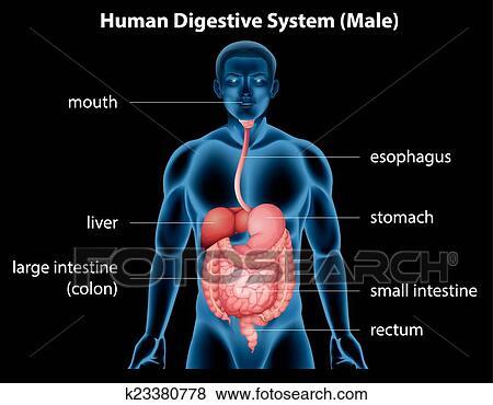 Clip Art - sistema digestivo humano k23380778 - Buscar Clip Art ...