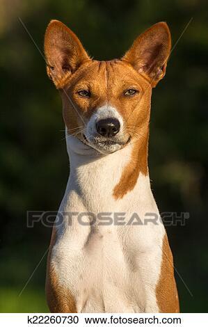 Small Hunting Dog Breed Basenji Stock Image K22260730 Fotosearch
