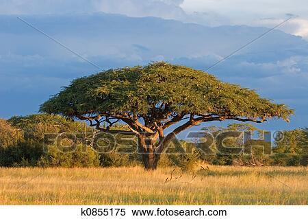 アカシア の 木 アカシアの木=ミモザが人気の種類朗【花-育て方-剪定のコツも解説し...