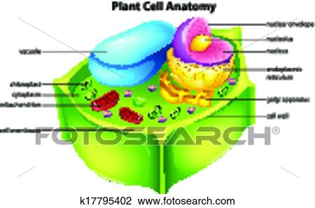 Clipart of Plant cell anatomy k17795402 - Search Clip Art ...