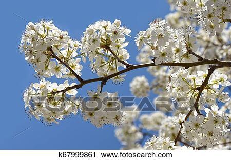 Springtime Blossoms Of A Decorative Cherry Tree Stock Image