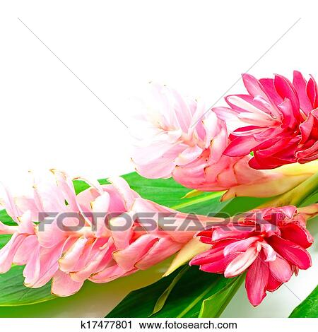 Stock photography of ginger flower k17477801 search stock photos colorful flower pink and red ginger or ostrich plume alpinia purpurata isolated on a white background mightylinksfo