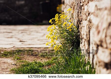 Stock images of small yellow flowers on a medieval wall k37095466 stock image small yellow flowers on a medieval wall fotosearch search stock photography mightylinksfo