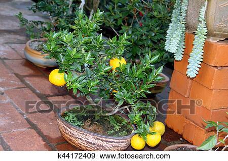 Bonsai Of Lemon Tree Stock Photo K44172409 Fotosearch