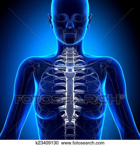 Colección de ilustraciones - hembra, esternón, -, anatomía, huesos ...