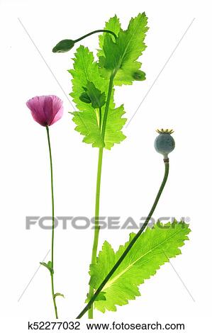Stock Photo Of Poppy Flower Papaver Somniferum K52277032 Search