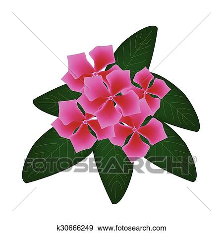 Clip Art of Pink Cape Periwinkle Flowers or Madagascar Periwinkle ...