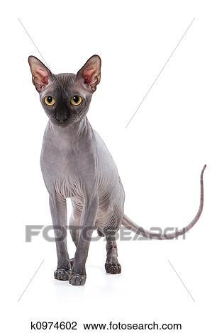 Sphynx Gatto Con Sfondo Bianco Archivio Immagini K0974602