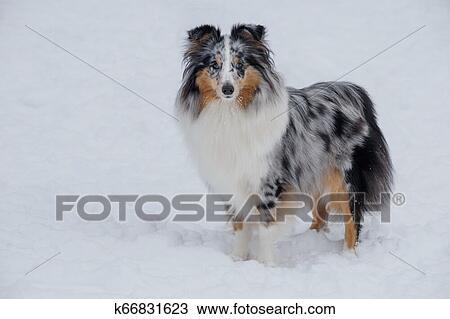 Cute Blue Merle Shetland Sheepdog Puppy