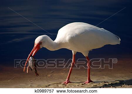 fotky bielych vtáky biela na čiernom Análny porno