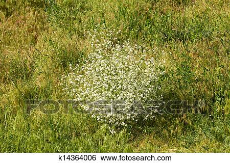 Stock images of shrub with small white flowers in nature k14364006 shrub with small white flowers in nature mightylinksfo