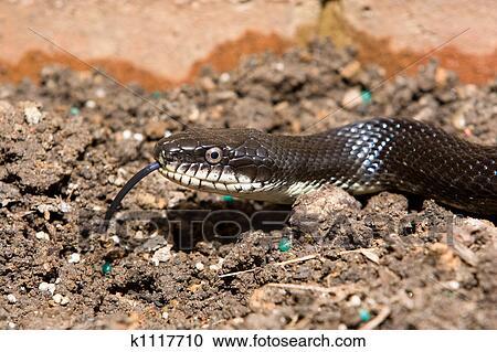 Archivio fotografico serpente ratto nero con tong for Serpente nero italiano