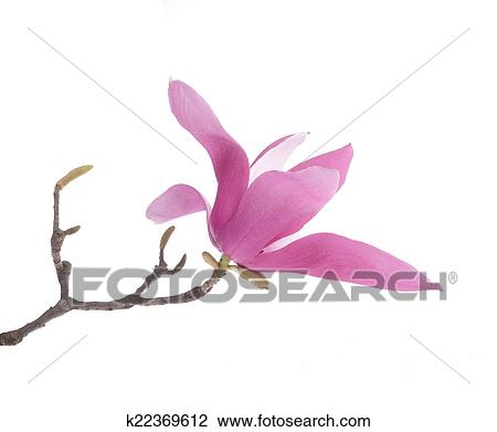 Stock photo of pink magnolia flowers isolated on white background pink magnolia flowers isolated on white background mightylinksfo