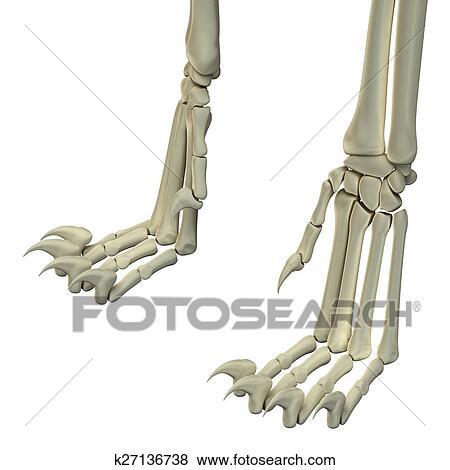 Colección de ilustraciones - gato, piernas traseras, anatomía ...