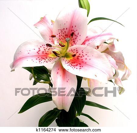 stock foto asiatische lilie blume k1164274 suche. Black Bedroom Furniture Sets. Home Design Ideas