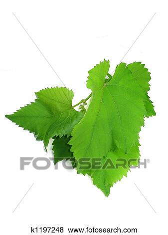 Green Grape Leaves Isolated Over White Background Stock Illustration K1197248 Fotosearch