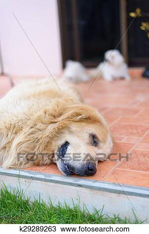Stock Photo Of Sleepy Face Golden Retriever Dog K29289263 Search