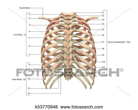 Human Skeleton System Thoracic Skeleton with Labels Anatomy (Posterior  View) Stock Illustration