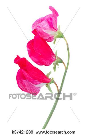 Pictures of sweet pea flowers k37421238 search stock photos sweet pea branch with pink flowers isolated on white background mightylinksfo