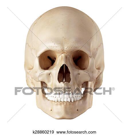 Colección de ilustraciones - el, cráneo humano k28860219 - Buscar ...