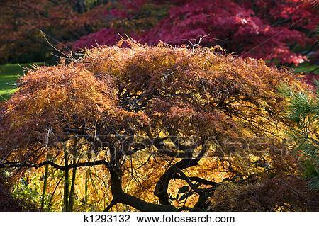 Japanese Maple Red Leaves Fall Colors Van Dusen Gardens Stock