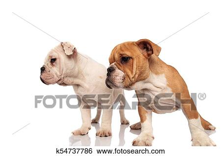 Two Cute English Bulldog Puppies Look