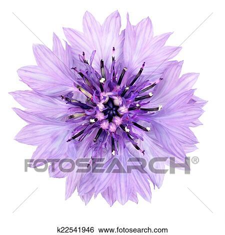 Stock Bilder - lila, kornblumen, blume, freigestellt, weiß ...