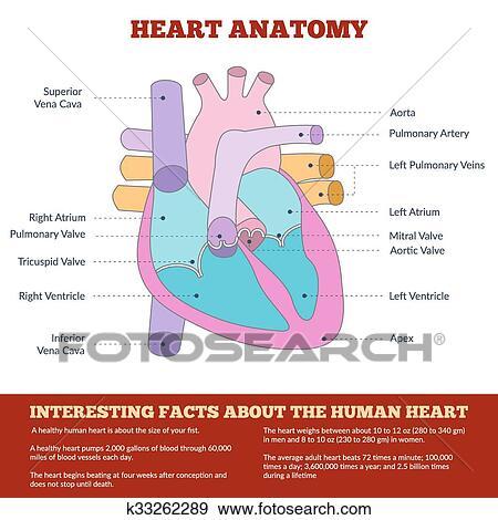 Clip Art - diagrama, de, corazón humano, anatomía k33262289 - Buscar ...
