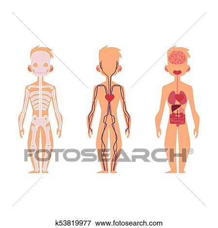 Clip Art - vektor, leute, innere organe, koerperbau, struktur ...
