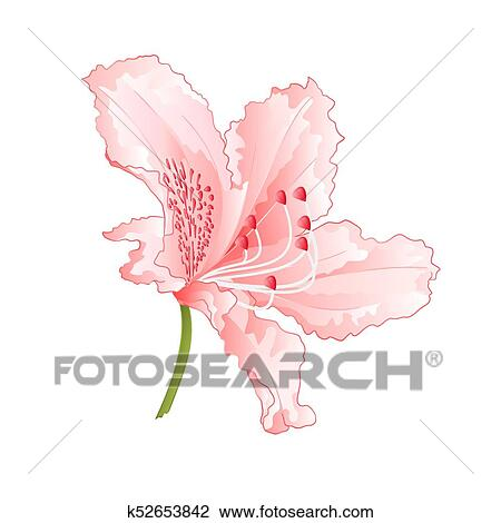Clipart of light pink flower rhododendron mountain shrub vintage light pink flower rhododendron mountain shrub vintage vector illustration editable hand draw mightylinksfo