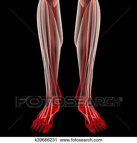 Clipart - pierna humana, articulaciones, músculos, anatomía ...